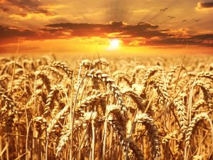 Main crops of Rabi season are wheat, barley and gram